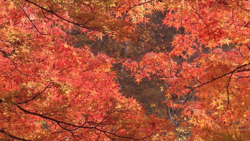 渓流のせせらぎを感じつつ、あざやかなもみじを眺める紅葉の名所